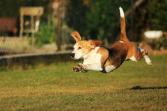 Собака бигля Стоковые Изображения RF