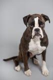 Собака боксера в студии Стоковые Изображения