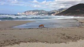 Собака боксера наслаждается сыграть на пляже Funtanamare, Иглезиас, Сардинии, Италии сток-видео