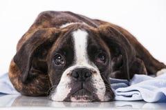 Собака боксера на студии Стоковая Фотография RF
