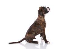 Собака боксера на студии Стоковая Фотография
