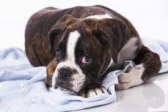 Собака боксера на студии Стоковые Фотографии RF