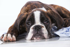 Собака боксера на студии Стоковое Фото