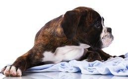 Собака боксера на студии Стоковое фото RF