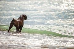 Собака боксера смотря на море Стоковые Изображения
