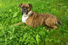 Собака боксера Стоковые Фото