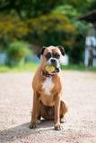 собака боксера Стоковое фото RF