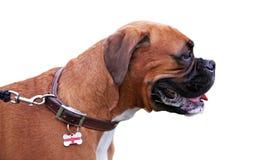 собака боксера Стоковая Фотография