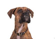 собака боксера grouchy Стоковое Фото
