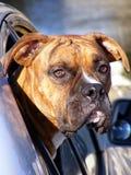 Собака: Боксер смотря из окна автомобиля Стоковые Изображения RF