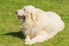 Собака больших Пиренеи в парке Стоковое Изображение RF
