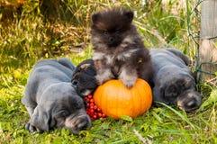 Собака большого датчанина и шпиц Pomeranian рядом с тыквой Стоковые Фотографии RF