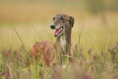 собака борзой бродяжничает среди поля цветков стоковое изображение rf