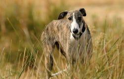 Собака борзой в сельской местности Стоковые Фото