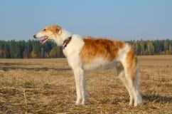 Собака борзой Стоковое Фото