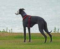Собака борзой Whippet Стоковое Изображение RF