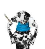 Собака больна -- температура высока Стоковые Фото