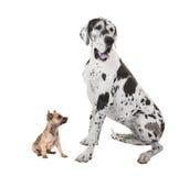Собака большого датчанина взрослые и щенок чихуахуа Стоковые Фото