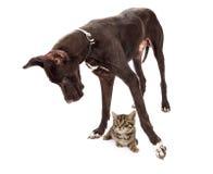 Собака большого датчанина с котенком под ногами Стоковая Фотография RF