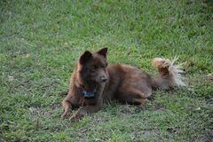 Собака Брайна в траве стоковые изображения rf