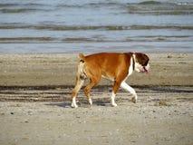 Собака Брайна идя на пляж стоковое изображение rf