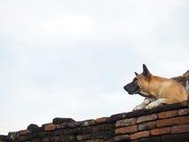 Собака Брайна на старой кирпичной стене с голубым небом Стоковые Фото
