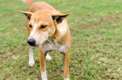 Собака Брайна на траве Стоковые Фотографии RF