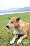 Собака Брайна на траве Стоковое Изображение