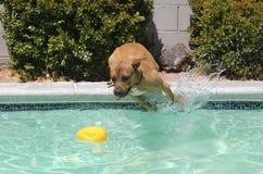 Собака Брайна скача с стороны бассейна Стоковые Фото