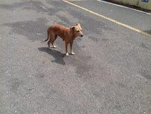 Собака Брайна смотря вниз с стоять в середине конкретной дороги стоковое фото rf