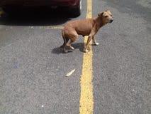 Собака Брайна смотря вниз с стоять в середине конкретной дороги стоковые изображения rf