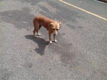 Собака Брайна смотря вниз с стоять в середине конкретной дороги стоковая фотография