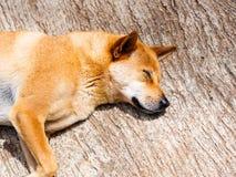 Собака Брайна спит в солнце стоковые изображения rf