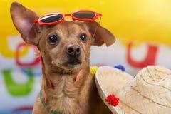Собака Брайна с красными стеклами на его голове, рядом с соломенной шляпой, на пестротканой предпосылке раздувного бассейна, Стоковая Фотография RF
