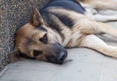 Собака Брайна с унылыми глазами Стоковые Изображения