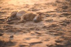 Собака Брайна тайская Стоковые Фотографии RF