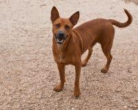 Собака Брайна Стоковая Фотография