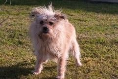 Собака Брайна Стоковые Изображения RF