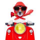 Собака валентинки мотоцикла стоковые фото