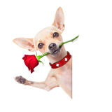 Собака валентинок Стоковое Фото
