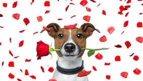 Собака валентинок стоковые изображения rf