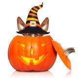 Собака ведьмы тыквы хеллоуина Стоковая Фотография