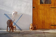 Собака венгерского vyzhla играя с щенятами стоковое изображение
