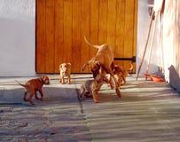 Собака венгерского vyzhla играя с щенятами стоковое фото rf