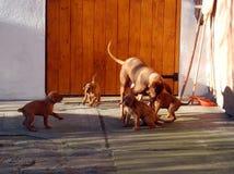 Собака венгерского vyzhla играя с щенятами стоковые фотографии rf