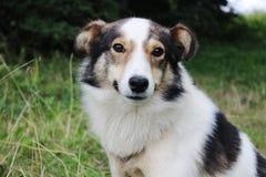 собака верная Стоковая Фотография