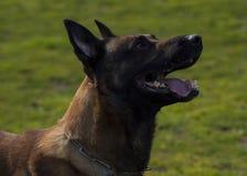 собака верноподданическая стоковое изображение rf