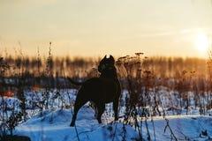 Собака, вечер, рассвет, дерево, силуэт, река, ноча, свет, сумрак стоковое изображение rf