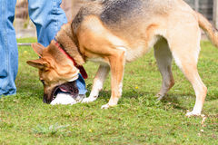 собака Взаимн породы играя путем жевать ботинки предпринимателей стоковые изображения