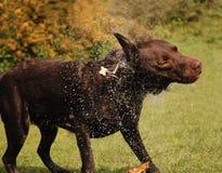 собака влажная Стоковая Фотография RF